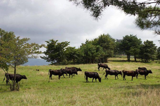放牧されている肉牛