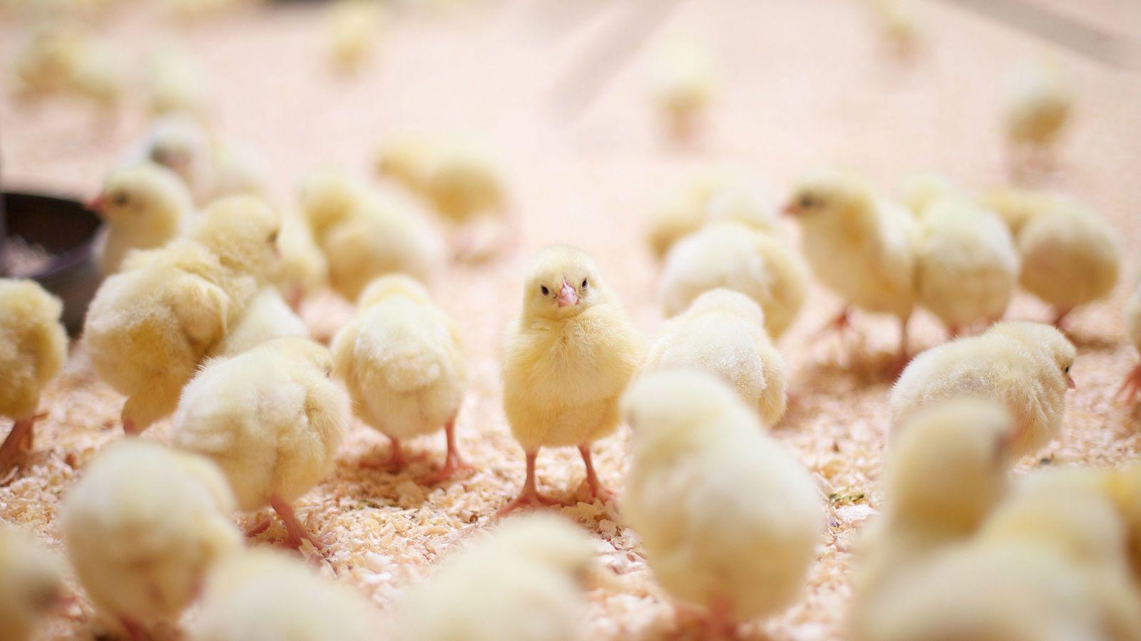 緊急事態!コロナでヒヨコが爆買いされている トイレ紙のように店から鶏が消えた