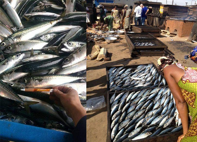 超人気サバをアフリカへ大量輸出するワケ 乱獲サバを輸出し、大型サバを輸入