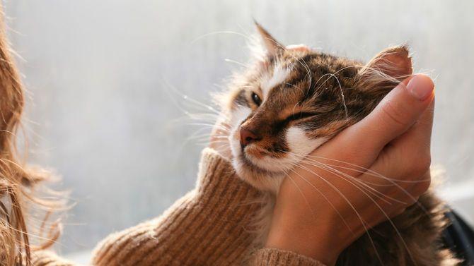 緑の目をしたかわいい家猫の頭を、飼い主がそっと包んでいる