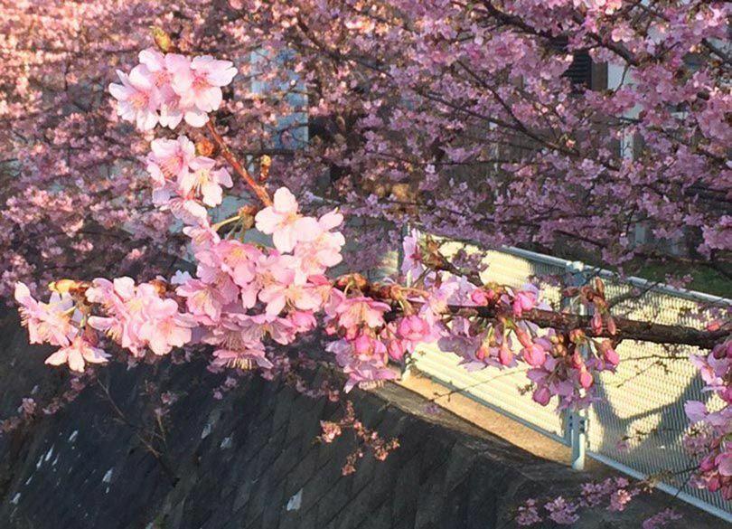 """達人が選ぶ日本一の名所""""弘前7つ咲き桜"""" ほかでは見られない濃厚な桜景色"""