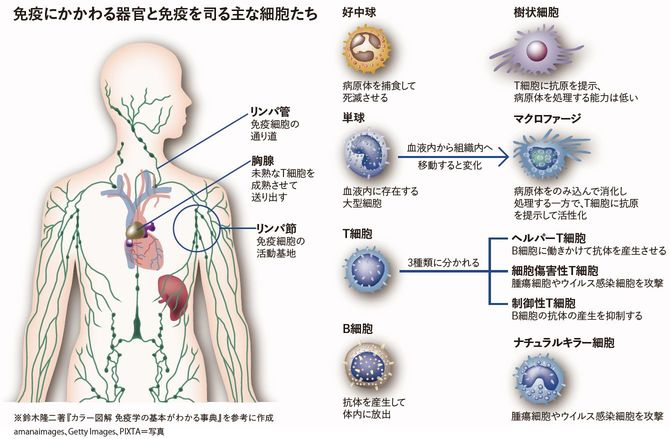 免疫にかかわる器官と免疫を司る主な細胞たち