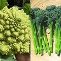 「オクラ」の漢字は? 野菜の豆知識4