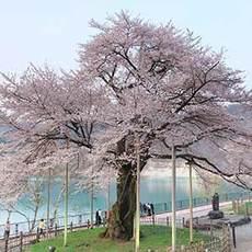 荘川桜に息づく電源開発初代総裁の思い…