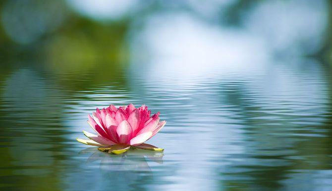 水に浮かんだ蓮の花