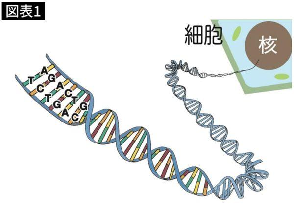 二重らせん状になったDNA