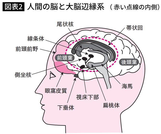 人間の脳と大脳辺縁系(赤い点線の内側)