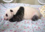 上野の街が「パンダ誕生」に興奮する理由