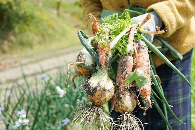 高齢者の女性が野菜を収穫