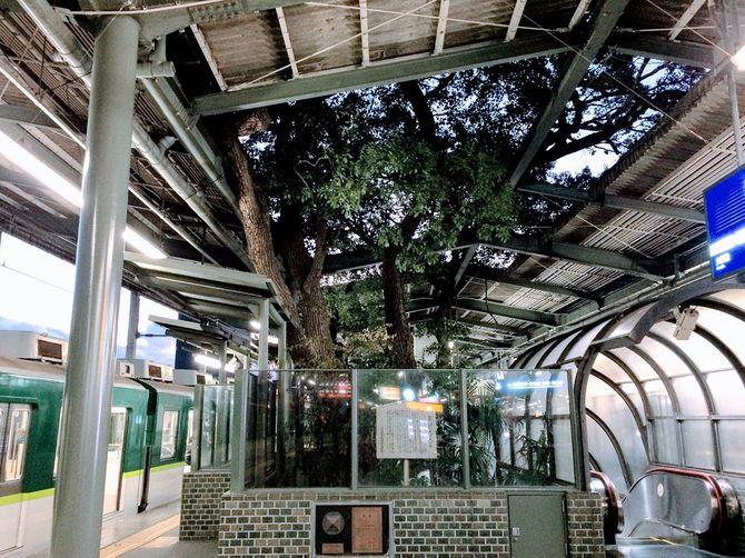クスノキが生えている萱島駅のホーム
