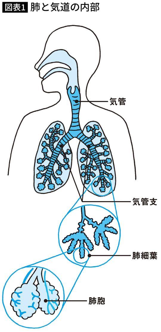 肺と気道の内部