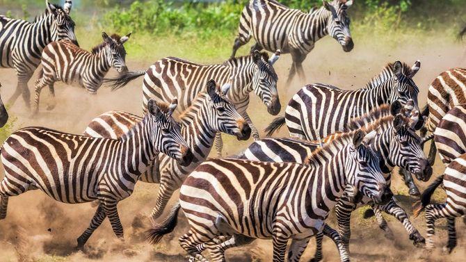 タンザニアのセレンゲティ国立公園にて。野生のシマウマの群れが逃げている。
