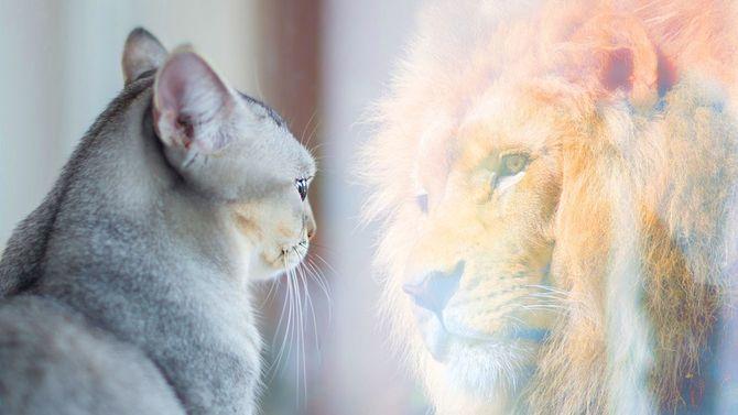 鏡の中に映る自分をライオンだと思い込む猫。自尊心や欲望の概念