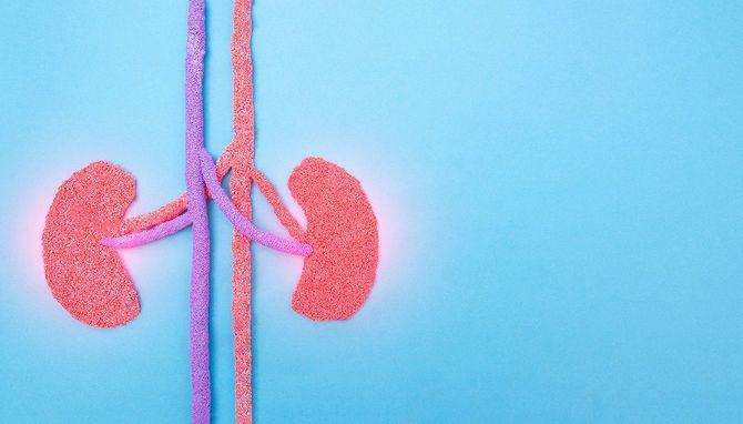 青い背景の人間の腎臓