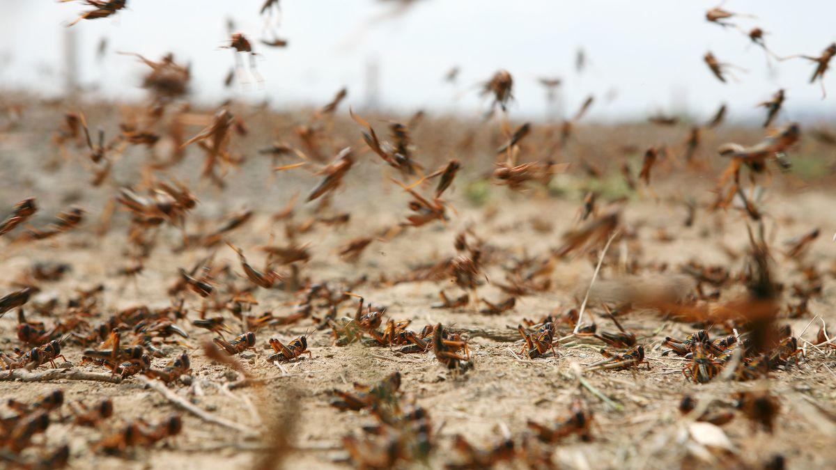 中国 サバクトビバッタ バッタの大群にドローンが飛び込むと…害虫退治の最前線:朝日新聞デジタル