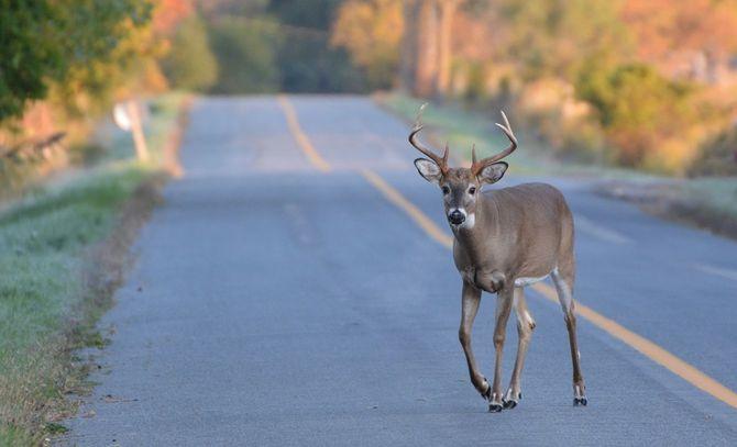 道路上の鹿