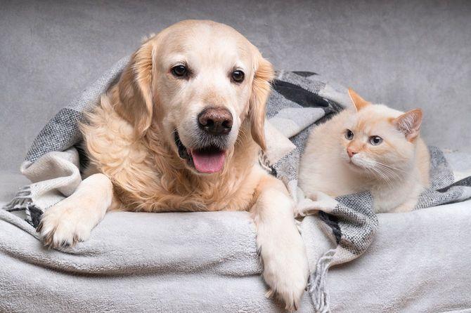幸せな若い黄金の取得犬とかわいい混合品種ジンジャー猫の下に居心地のよいタータンチェック柄。動物は寒い冬の天候で黒と白の毛布の下で温めます。ペットの友情。