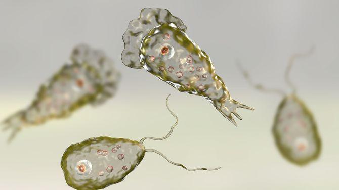「殺人アメーバ」と呼ばれているアメーバの一種「フォーラーネグレリア」