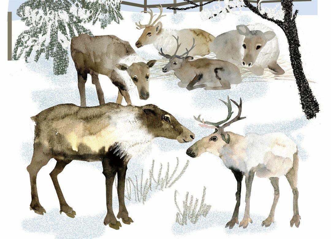 クリスマスに角があるトナカイは「メス」 動物園で話のネタになる6つの秘密